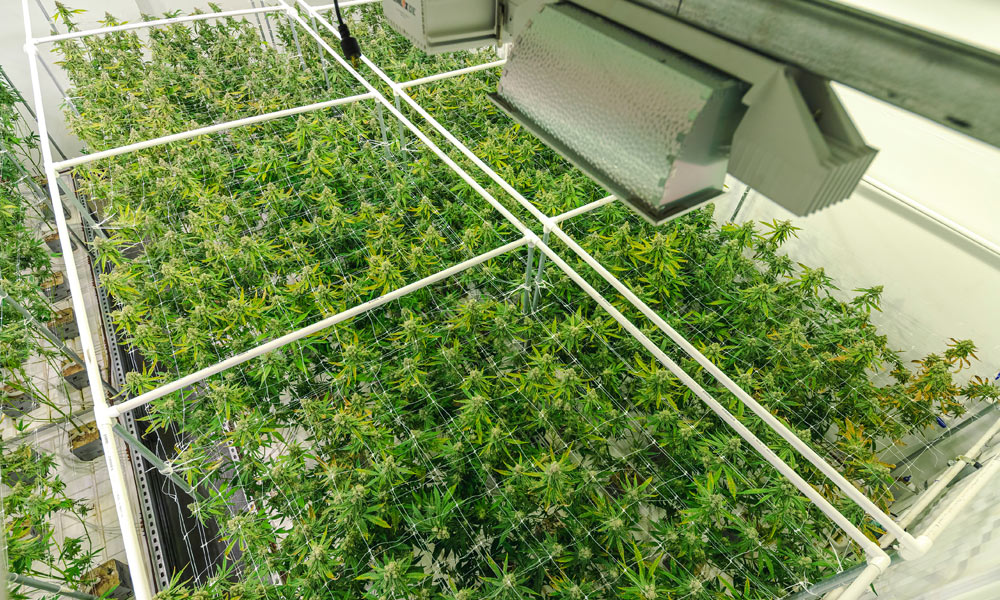 STERILE ENVIRONMENTS FOR CANNABIS PRODUCTION